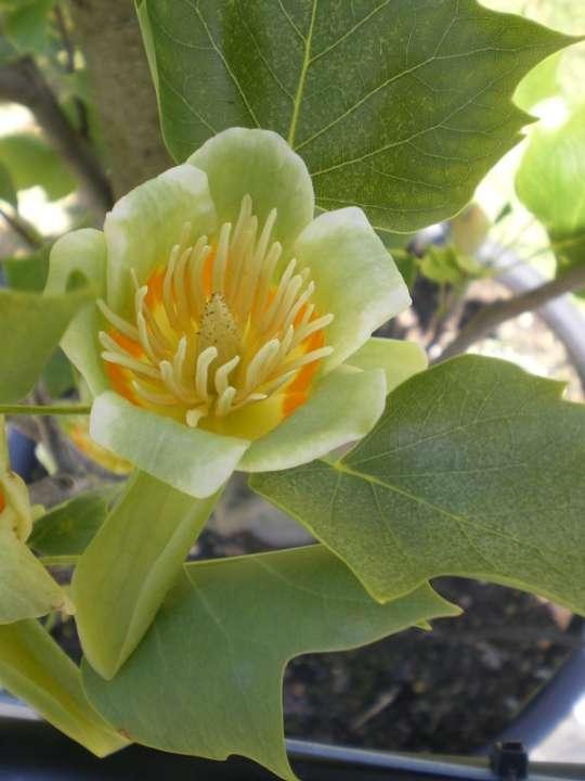 provender-factsheet-Liriodendron tulipifera 'Fastigiatum'