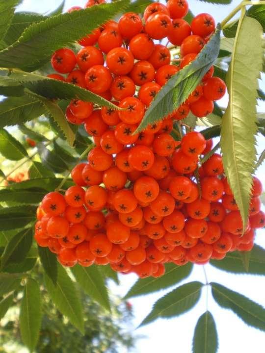 provender-factsheet-Sorbus commixta Olympic Flame