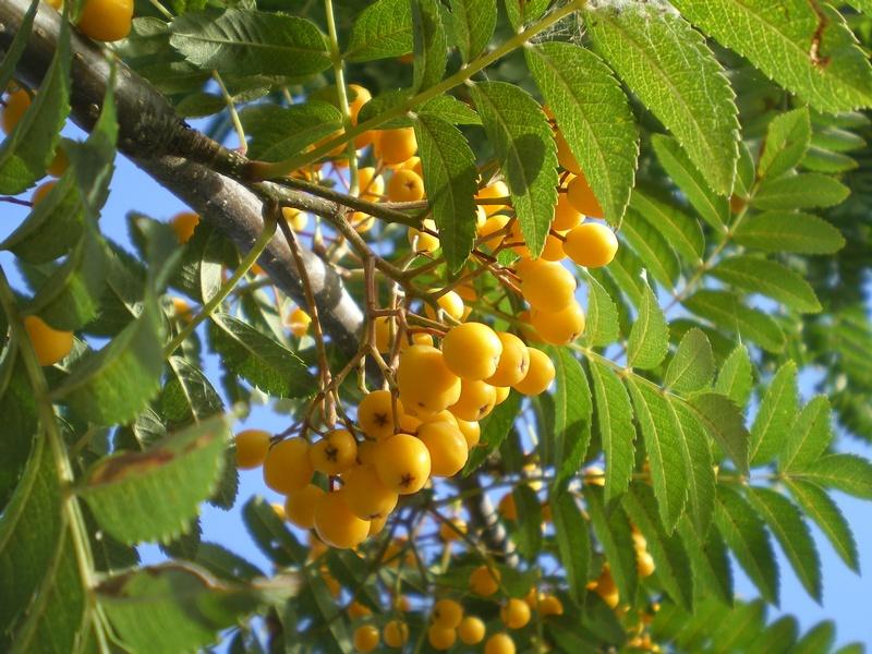 provender-factsheet-Sorbus 'Sunshine'
