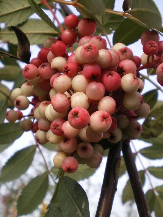 provender-factsheet-Sorbus hupehensis