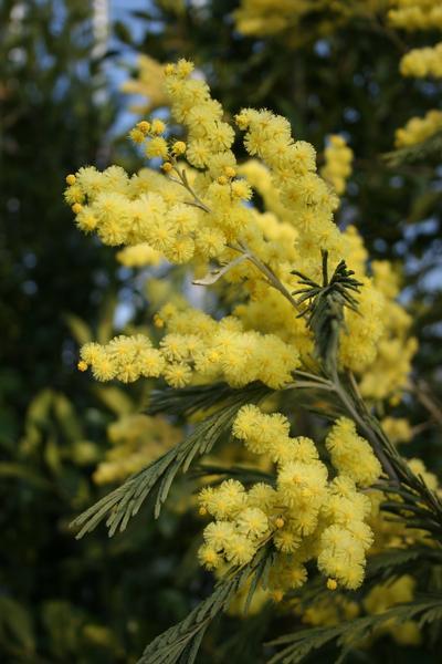 provender-factsheet-Acacia dealbata