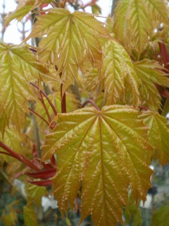 provender-factsheet-Acer platanoides 'Golden Globe'