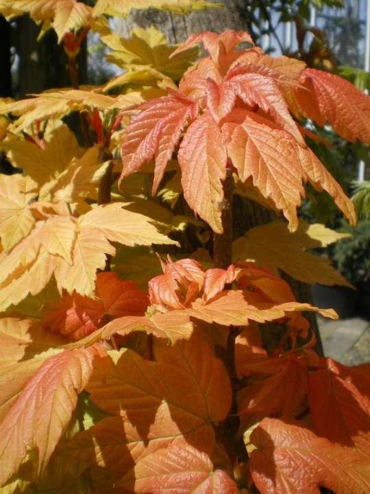 provender-factsheet-Acer pseudoplatanus 'Brilliantissimum'