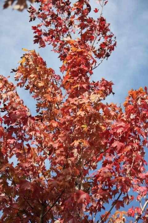 provender-factsheet-Acer x freemanii 'Autumn Blaze'