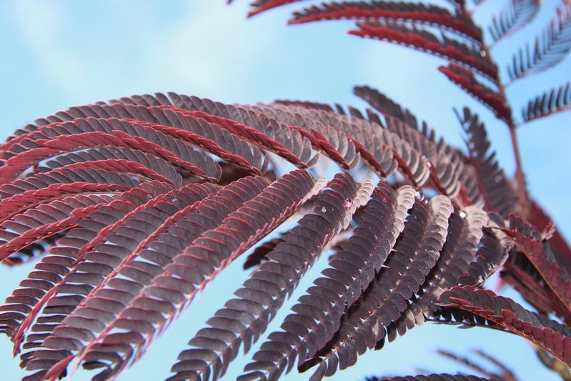 provender-factsheet-Albizia julibrissin 'Summer Chocolate'