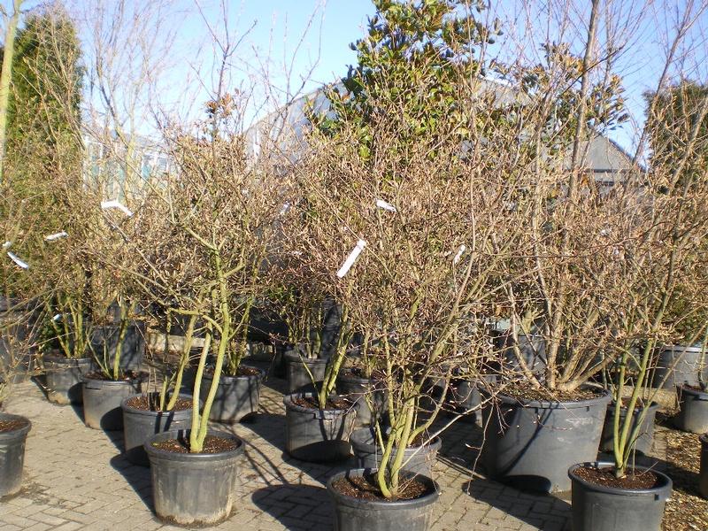 provender-factsheet-Amelanchier x grandiflora 'Robin Hill'