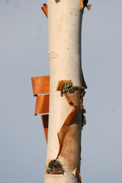 provender-factsheet-Betula utilis jacquemontii