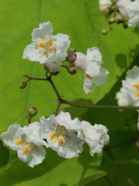 provender-factsheet-Catalpa bignonioides 'Aurea'