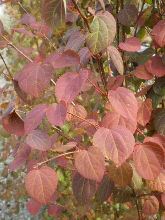 provender-factsheet-Cercidiphyllum japonicum