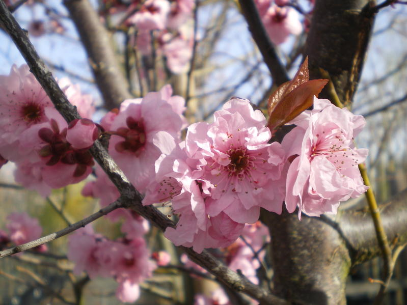 provender-factsheet-Prunus x blireana