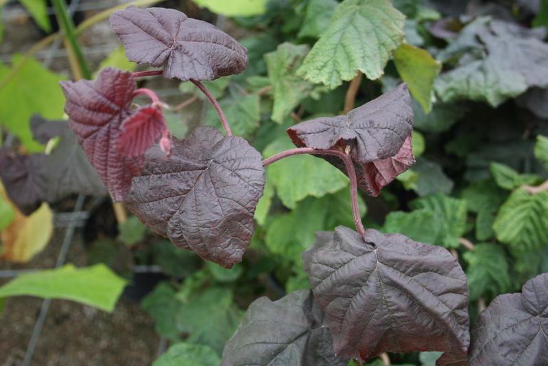 provender-factsheet-Corylus avellana 'Red Majestic'