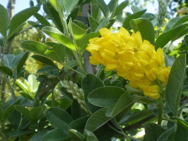 provender-factsheet-Cytisus battandieri