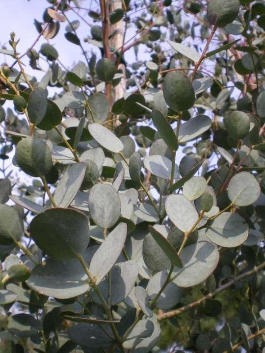 provender-factsheet-Eucalyptus gunnii