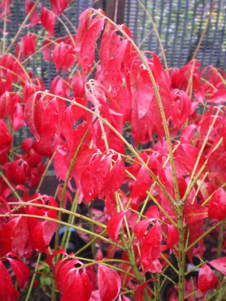 provender-factsheet-Euonymus alatus 'Compactus'
