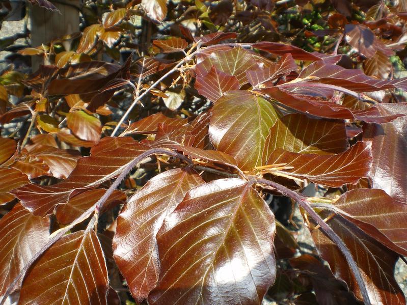provender-factsheet-Fagus sylvatica 'Purpurea Latifolia'