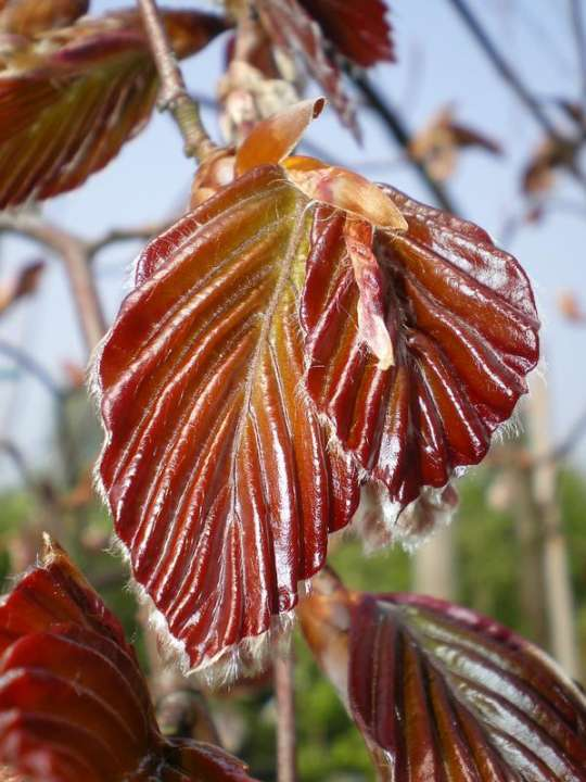 provender-factsheet-Fagus sylvatica 'Purpurea Pendula'