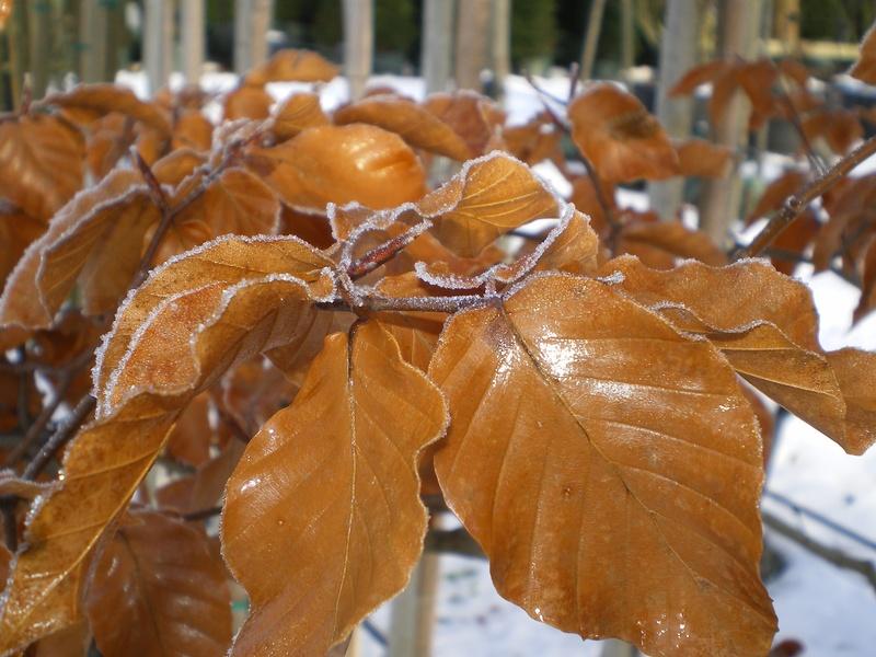 provender-factsheet-Fagus sylvatica