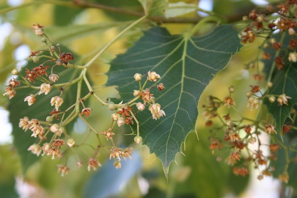 provender-factsheet-Tilia henryana