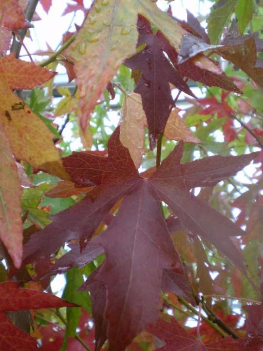 provender-factsheet-Liquidambar styraciflua 'Worplesdon'