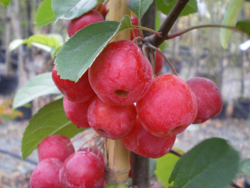 provender-factsheet-Malus x robusta 'Red Sentinel'