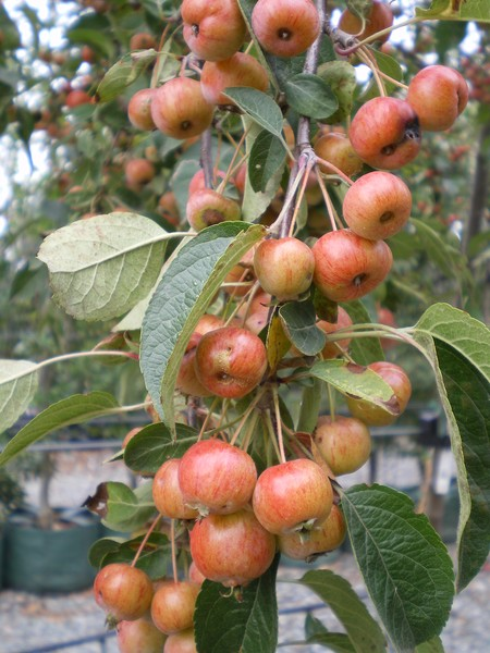 provender-factsheet-Malus 'Evereste'