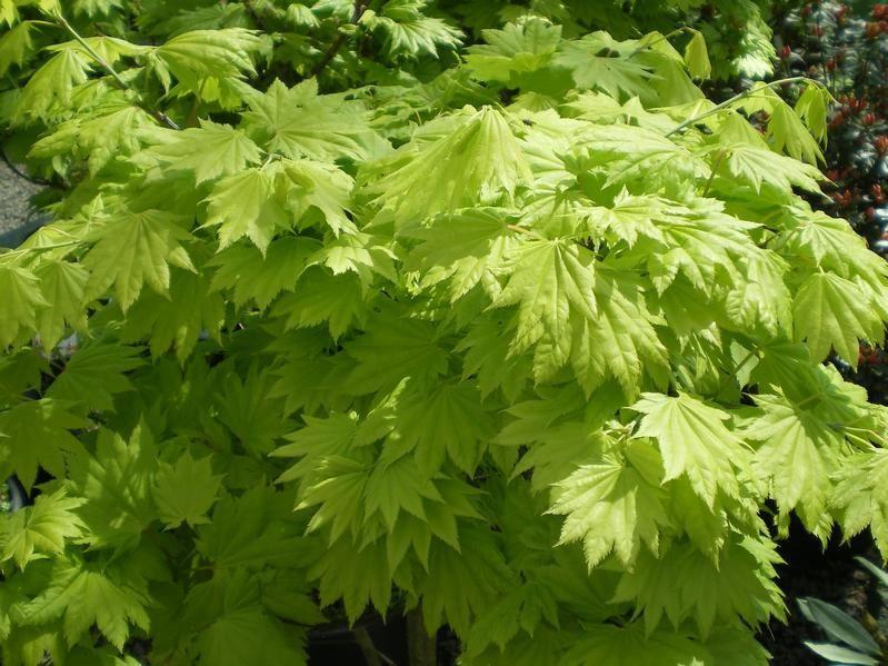 Acer Shirasawanum Aureum Factsheets Provender Nurseries