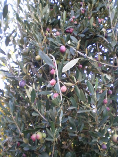 provender-factsheet-Olea europea