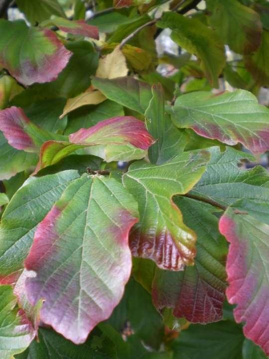 provender-factsheet-Parrotia persica