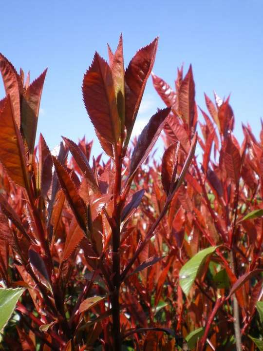 provender-factsheet-Photinia x fraseri 'Red Robin'