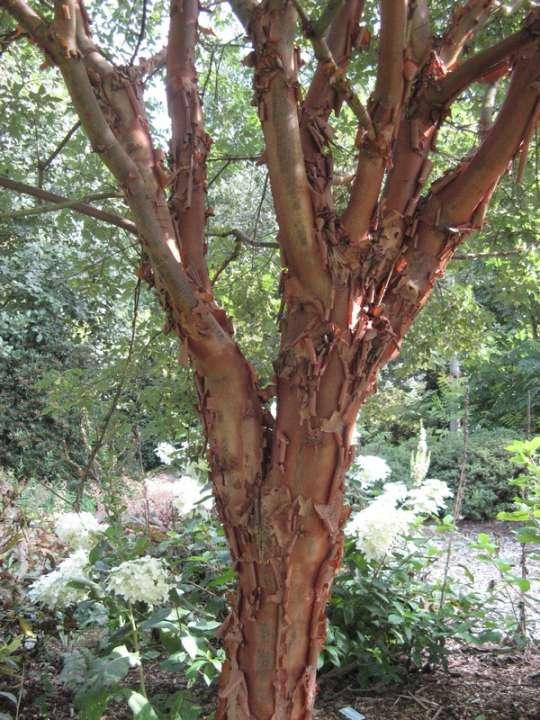 provender-factsheet-Acer griseum