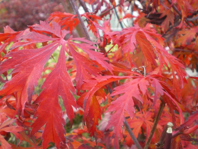 provender-factsheet-Acer japonicum 'Aconitifolium'