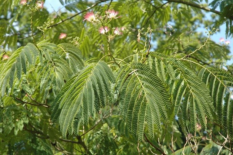 provender-factsheet-Albizia julibrissin f. rosea