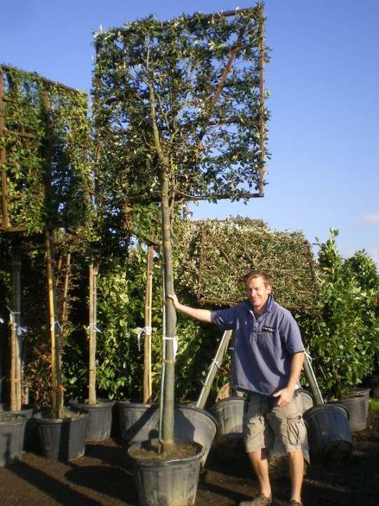 provender-factsheet-Quercus ilex PLEACHED