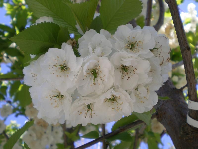 provender-factsheet-Prunus avium 'Plena'