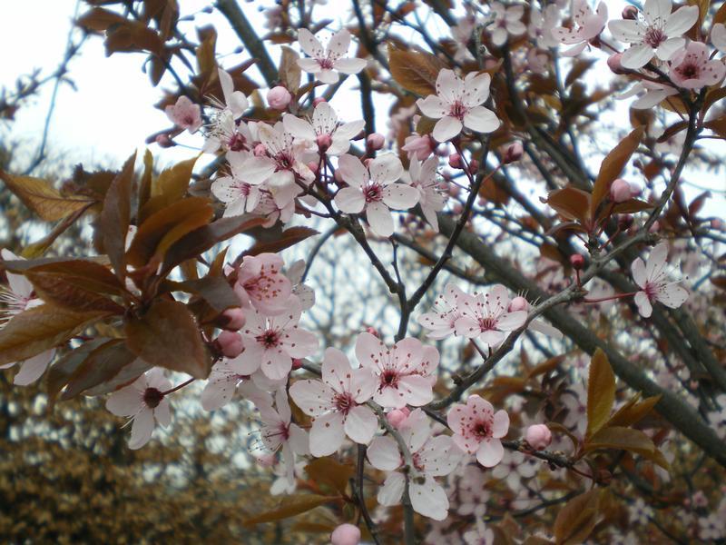 provender-factsheet-Prunus cerasifera 'Nigra'