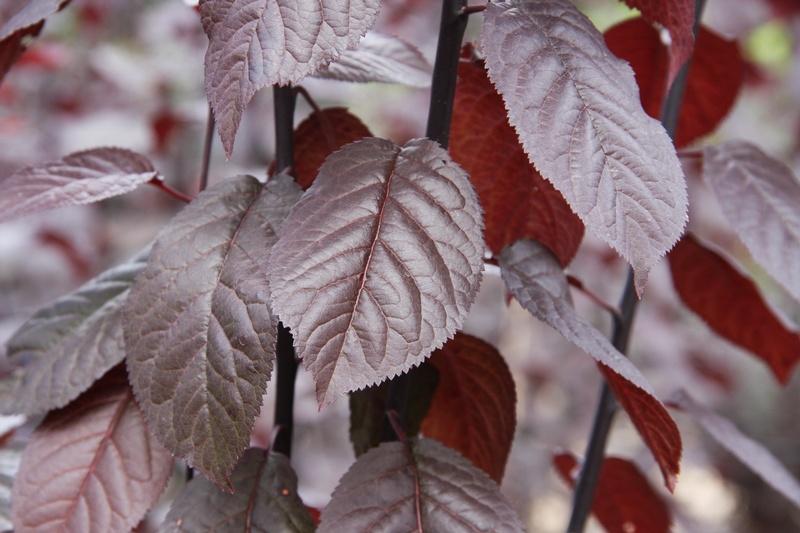 provender-factsheet-Prunus cerasifera 'Pissardii'