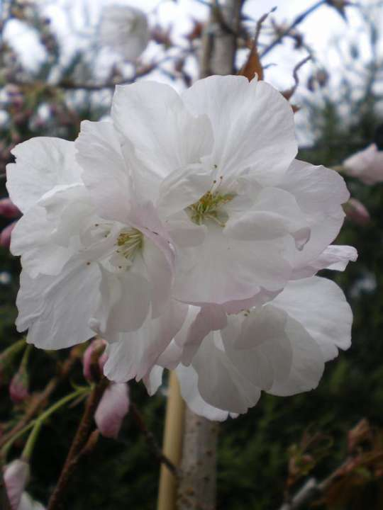 provender-factsheet-Prunus 'Chocolate Ice'