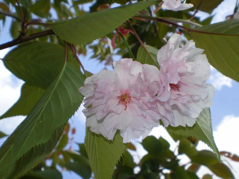 provender-factsheet-Prunus 'Fragrant Cloud'