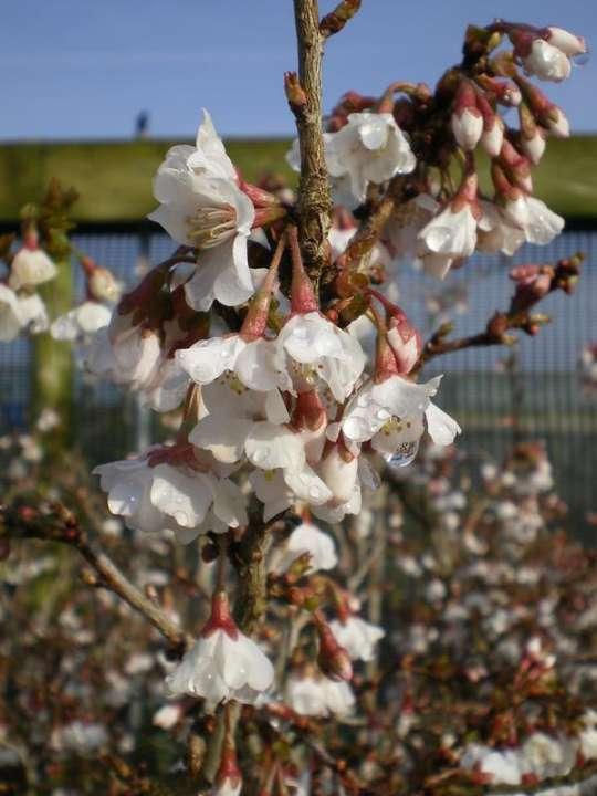 provender-factsheet-Prunus incisa 'Ko-Jo-No-Mai'