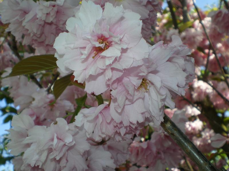 provender-factsheet-Prunus 'Kanzan'