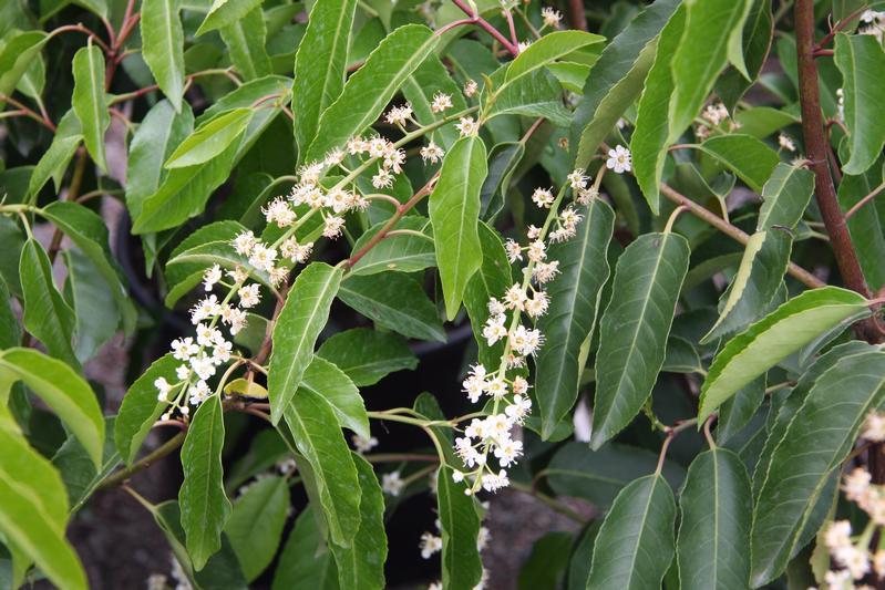 provender-factsheet-Prunus lusitanica