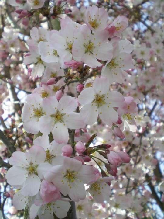 provender-factsheet-Prunus 'Pandora'