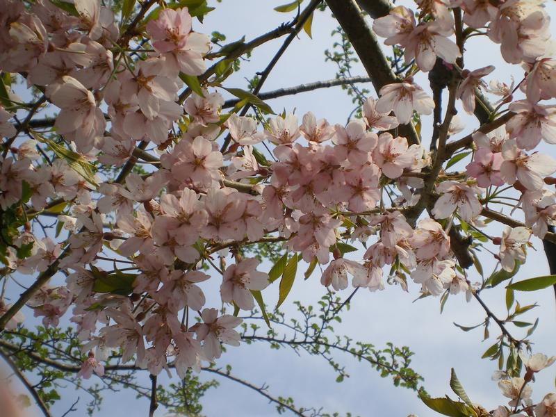 provender-factsheet-Prunus pendula 'Pendula Rubra'