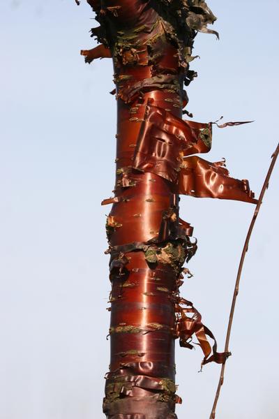 provender-factsheet-Prunus serrula