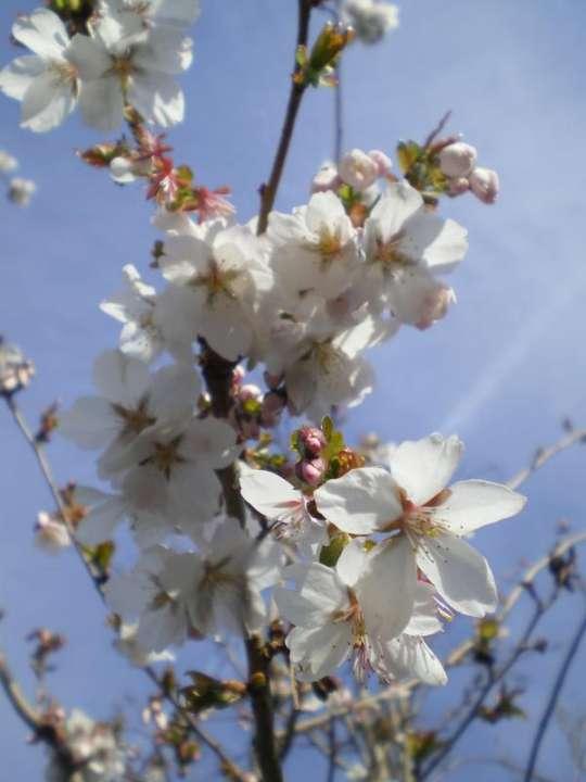 provender-factsheet-Prunus x subhirtella 'Autumnalis Rosea'