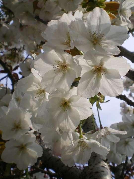 provender-factsheet-Prunus 'Taihaku'