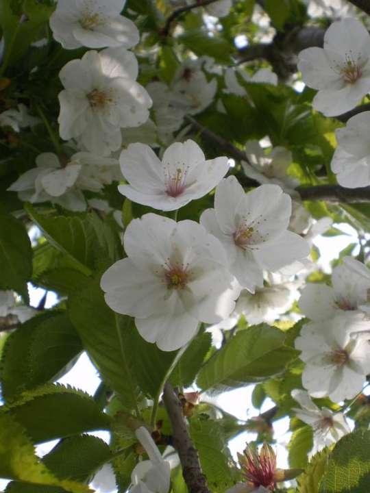 provender-factsheet-Prunus 'Umineko'