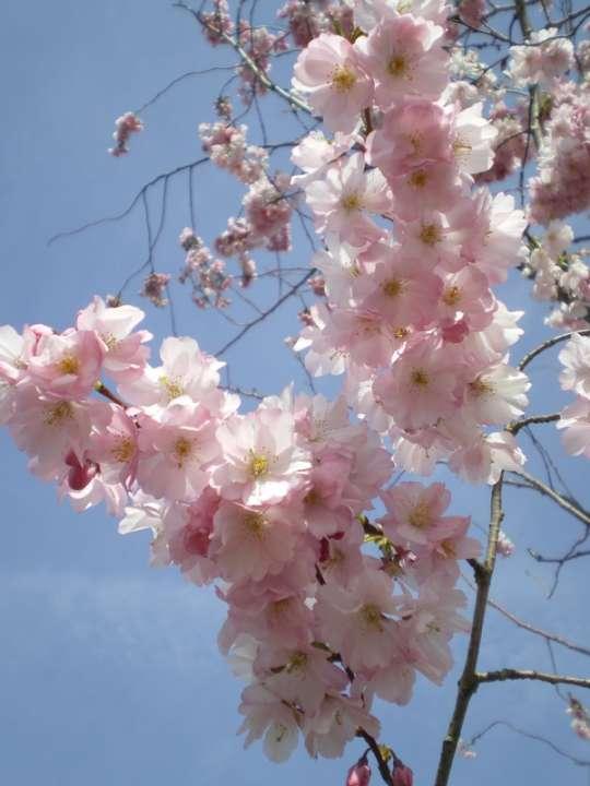 provender-factsheet-Prunus 'Accolade'