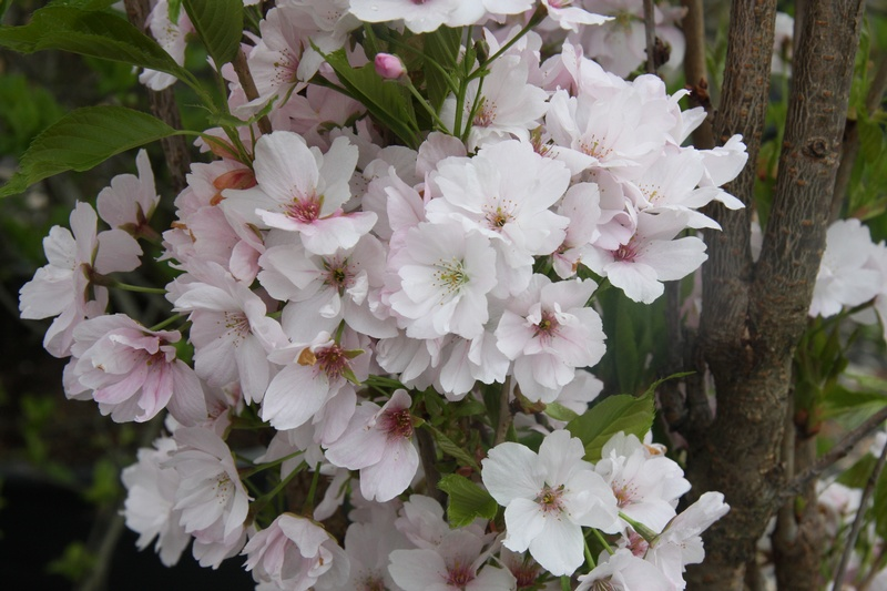 provender-factsheet-Prunus 'Amanogawa'