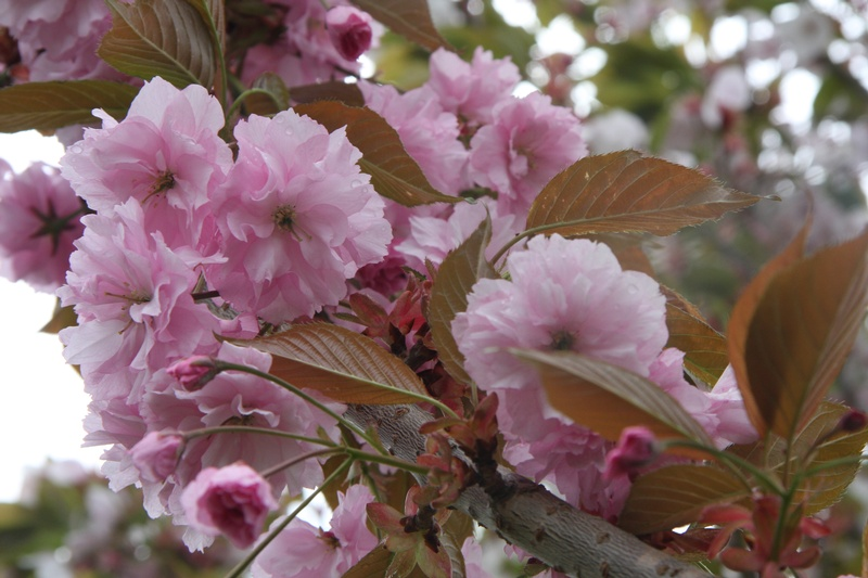 provender-factsheet-Prunus 'Pink Perfection'